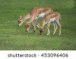 Blackbuck Walking On Green Grass