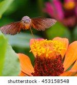 Hummingbird Hawk Moth Close Up...