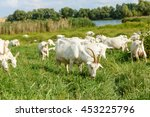 Herd Of Farm Milk Goats  On A...