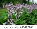 close up of a flowering hosta... | Shutterstock . vector #453422746