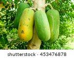 Papaya Raw And Ripe Fruits On...