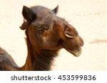 dromedary near the sky in oman  ... | Shutterstock . vector #453599836