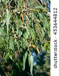 close up on eucalyptus branch | Shutterstock . vector #453644812
