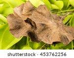 Small photo of Burma Padauk, Narra, Angsana Norra, Malay Padauk], Burmese Rosewood, Andaman Redwood, Amboyna Wood, Indian rosewood: flowers and fruits.