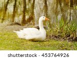 Big White Domestic Goose On A...