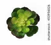 Succulent Flower Isolated On...