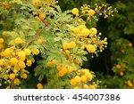 African Mimosa  Acacia