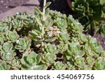 Small photo of Aeonium haworthii