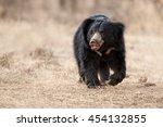 Big Beautiful Sloth Bear Male...
