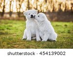 Stock photo two funny white swiss shepherd puppies playing 454139002