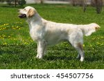 beautiful purebred dog golden... | Shutterstock . vector #454507756