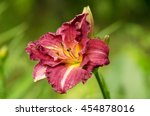 Yellow Purple Daylily Flower...