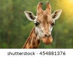A Head Shot Of A Giraffe With...