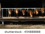 Cattle In The Open Stall