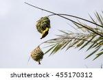 Adult Village Weavers  Ploceus...