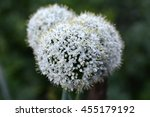 white onion flower