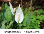 Image Of Peace Lily In Garden...