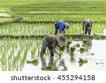 Farmers Are Planting Rice In...