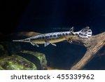 Small photo of Alligator gar fish underwater close up macro portrait