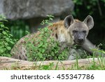 spotted hyena looking to the... | Shutterstock . vector #455347786