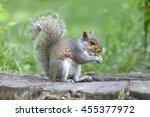 Cute Grey Squirrel Eating In...