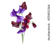 Sweet Pea Lathyrus Odoratus...