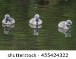 3 Young Mute Swans On The Wate...