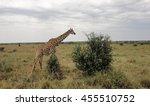 giraffe eating bush in african... | Shutterstock . vector #455510752