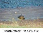 Box Turtles In Pond