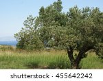 olive tree and field. natural...   Shutterstock . vector #455642242