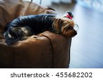 beautiful puppy lying on a...   Shutterstock . vector #455682202