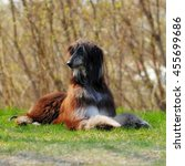 Small photo of beautiful dog breed Afghan lies in the summer outdoors, in an aristocratic posture