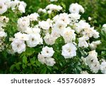 Stock photo white roses in the palace garden in milotice czech republic focus only on the center white 455760895