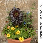 Small photo of Terracotta Flowerpot with Aeonium arboreum and Trailing Plants in a Country Cottage Garden in the Rural Village of Tintinhull in Somerset, England,UK