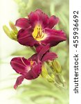 two pink daylily flower...   Shutterstock . vector #455936692