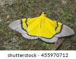 Small photo of Celerena signata moth in rain forest on the rock, Thailand