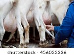 goat udder and hooves shot from ... | Shutterstock . vector #456022336