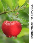 Small photo of Red acerola cherry on tree in Thailand