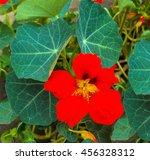 Nasturtium. Orange Bloomed...