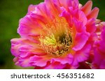 Small photo of A diagonal view of a Trichocereus, Flying Saucer bloom the morning after it bloomed. This is a night blooming cactus flower and is vibrant pink in color