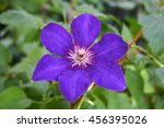Purple Flower Of Clematis  ...