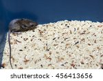 Small photo of Rat fell in a bucket of rice.dacoit in your home.