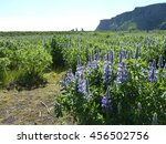 iceland lupine 2 | Shutterstock . vector #456502756