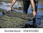 Man placing metal bag with oysters on oyster farm.