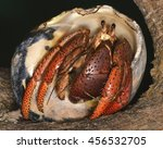 Coenobita clypeatus (the Caribbean hermit crab),  a species of land hermit crab native to the west Atlantic