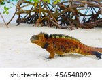 Galapagos Land Iguana  At The...