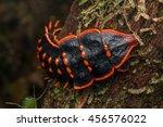 Trilobite Beetle   Close Up Of...
