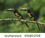 collared aracari  pteroglossus... | Shutterstock . vector #456801928