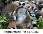 Ring Tailed Lemur Breastfeedin...