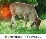 cow eating grass | Shutterstock . vector #456896572